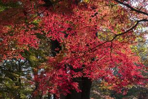 モミジの紅葉の写真素材 [FYI04917832]