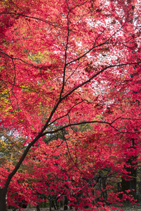 モミジの紅葉の写真素材 [FYI04917855]