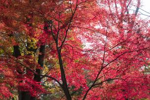 モミジの紅葉の写真素材 [FYI04917857]