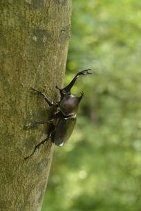立ち木に止まるカブトムシの写真素材 [FYI04918709]