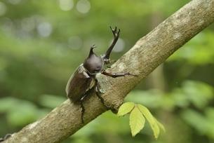 立ち木に止まるカブトムシの写真素材 [FYI04918728]