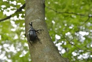 立ち木に止まるカブトムシの写真素材 [FYI04918733]