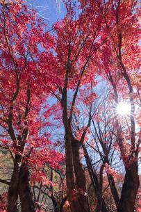 モミジの紅葉と木漏れ日の写真素材 [FYI04918992]
