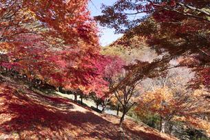 モミジの紅葉と落ち葉の写真素材 [FYI04918993]
