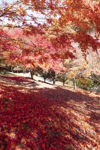 モミジの紅葉と落ち葉の写真素材 [FYI04918994]