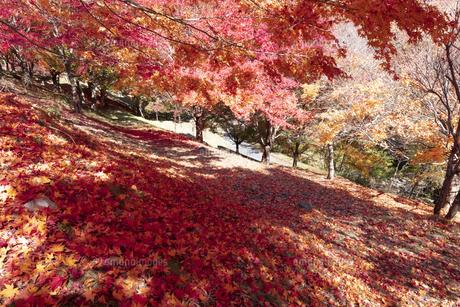 モミジの紅葉と落ち葉の写真素材 [FYI04918995]