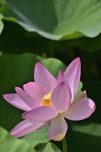 千葉公園に咲く大賀ハス(オオガハス)のピンク色の花(古代のハスの実から発芽・開花したハス(古代ハス)の写真素材 [FYI04919133]