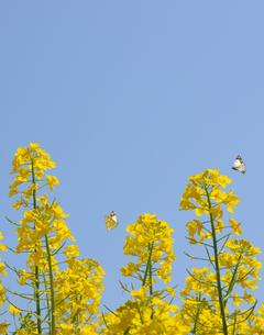 菜の花と蝶の写真素材 [FYI04919858]