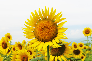 ひまわりの花の写真素材 [FYI04919861]
