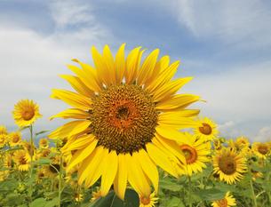 ひまわりの花の写真素材 [FYI04919863]