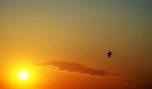 夕日とサギ鳥の写真素材 [FYI04919904]
