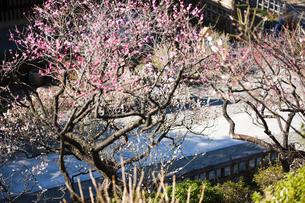 梅の木の写真素材 [FYI04919934]