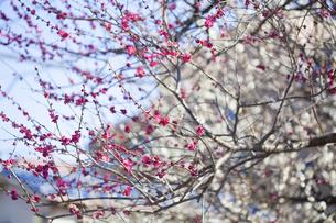 梅の花の写真素材 [FYI04920105]