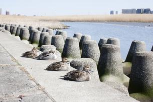 多摩川河川敷のカモの写真素材 [FYI04920151]