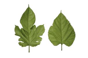 クローズアップ、緑の桑の葉の写真素材 [FYI04920262]