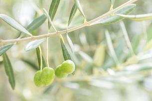 【植物】オリーブの実の写真素材 [FYI04920299]