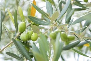 【植物】オリーブの実の写真素材 [FYI04920300]