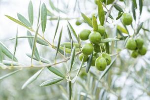 【植物】オリーブの実の写真素材 [FYI04920301]