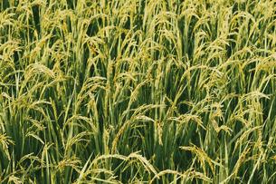 【農業】稲の穂が実っている風景 米の写真素材 [FYI04920302]