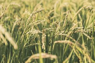 【農業】稲の穂が実っている風景 米の写真素材 [FYI04920303]