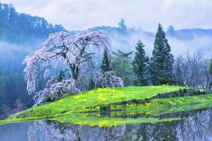 与一野のしだれ桜(広島県安芸太田町)の写真素材 [FYI04920688]