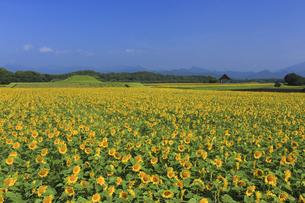 ひまわり畑の写真素材 [FYI04920806]