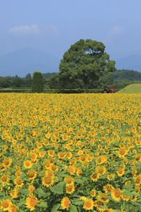 ひまわり畑の写真素材 [FYI04920809]