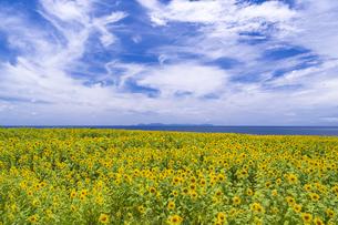長島町のひまわり畑の写真素材 [FYI04920890]