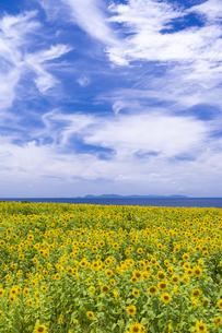 長島町のひまわり畑の写真素材 [FYI04920891]