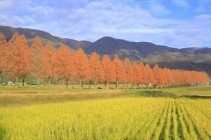 紅葉のメタセコイア並木の写真素材 [FYI04920936]