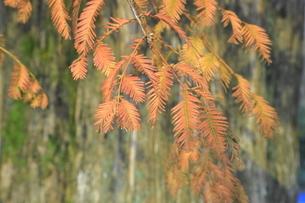 紅葉したメタセコイアの葉の写真素材 [FYI04920970]