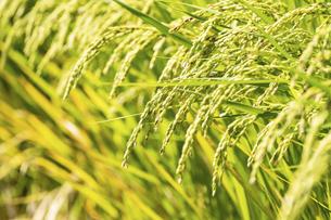 【農業】稲の穂が実っている風景 米の写真素材 [FYI04920974]