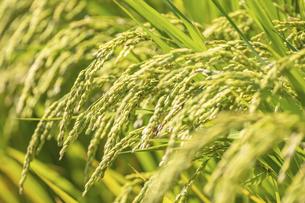 【農業】稲の穂が実っている風景 米の写真素材 [FYI04920994]