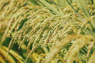 【農業】稲の穂が実っている風景 米の写真素材 [FYI04920995]