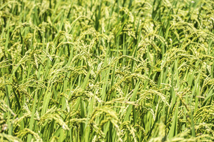 【農業】稲の穂が実っている風景 米の写真素材 [FYI04920996]