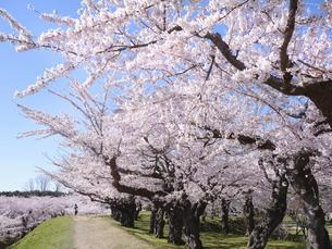 五稜郭公園の桜の写真素材 [FYI04921223]