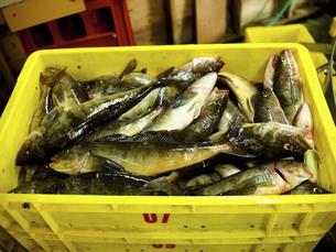 ホッケ漁の写真素材 [FYI04921235]