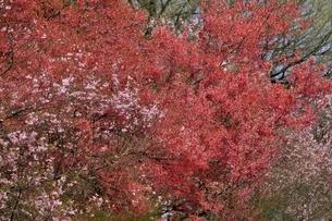 花見山公園の写真素材 [FYI04921352]