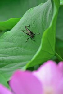 千葉公園に咲く大賀ハス(オオガハス)のピンク色の花(古代のハスの実から発芽・開花したハス(古代ハス)の葉に止まるヒメギス(バッタ目キリギリス科の昆虫)の写真素材 [FYI04921369]
