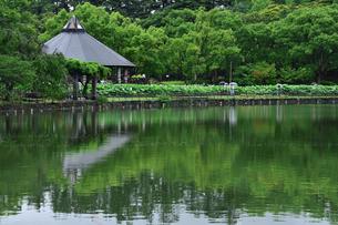 千葉公園の木々に囲まれた池に沿って咲くオオガハス(古代のハスの実から発芽・開花したハス)のピンク色の花と蓮華亭・売店の写真素材 [FYI04921416]
