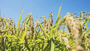 【農業】稲の穂が実っている風景 米の写真素材 [FYI04921535]