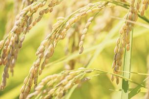 【農業】稲の穂が実っている風景 米の写真素材 [FYI04921546]