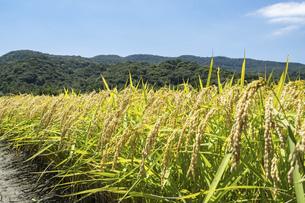 【農業】稲の穂が実っている風景 米の写真素材 [FYI04921547]