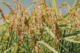【農業】稲の穂が実っている風景 米の写真素材 [FYI04921548]