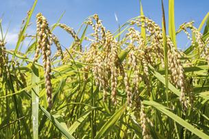 【農業】稲の穂が実っている風景 米の写真素材 [FYI04921552]
