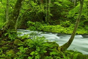 阿寒川上流の流れと新緑の川畔の森の写真素材 [FYI04921873]