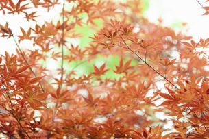 赤く色づいた葉の写真素材 [FYI04922008]