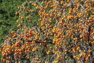 たわわに実った柿の木の写真素材 [FYI04922053]