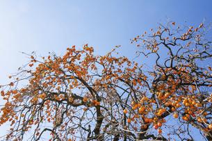 たわたに実った柿の木の写真素材 [FYI04922054]