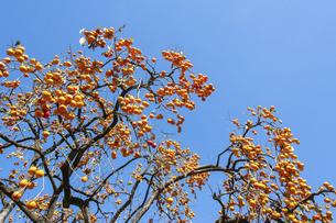 たわたに実った柿の木の写真素材 [FYI04922055]